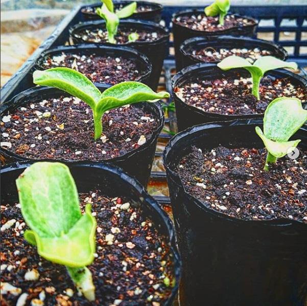 ジャンボカボチャの芽