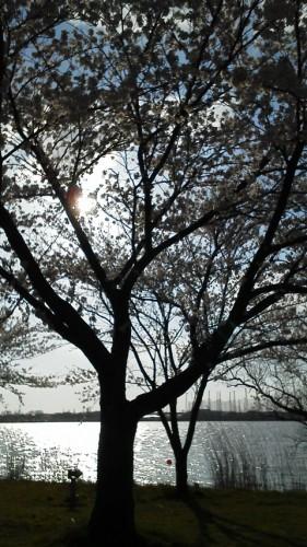 桜190402b