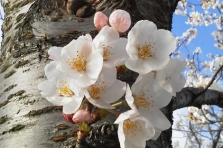 桜190402e