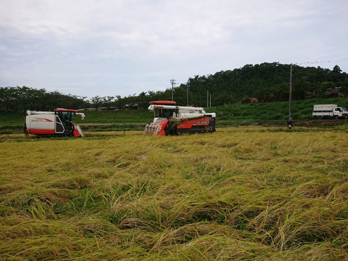 米職人 稲刈り