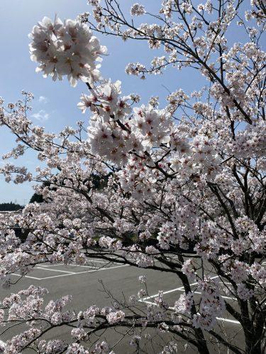 春 さくら